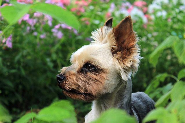allergivänliga hundar