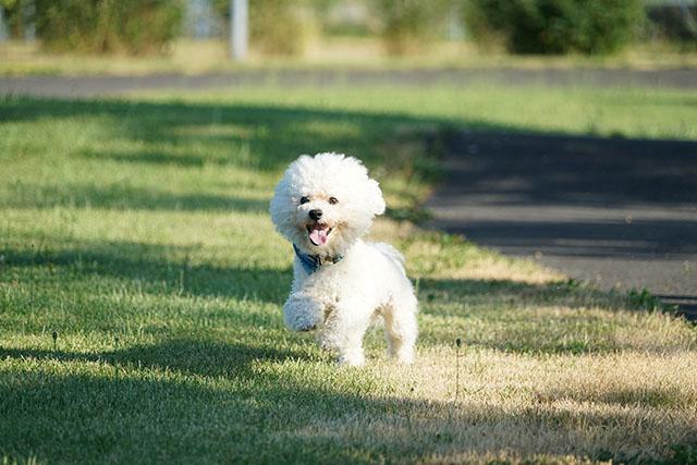 Bichon frise springer på gräsmatta