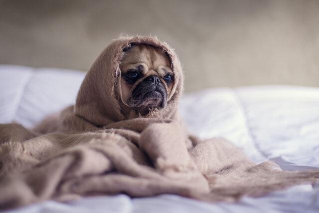 Stressad hund